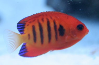 Flammen-Zwergkaiserfisch