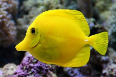 Hawaii Doktorfisch