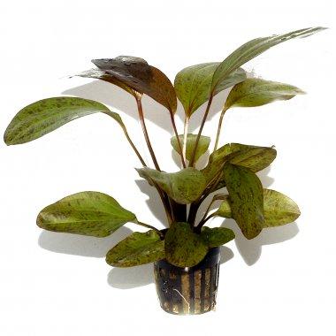 Tropica Echinodorus 'Ozelot'
